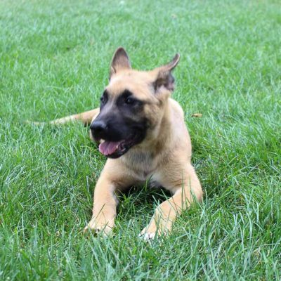 Laney - an Akita & German Shepherd Mix for sale near Fort Wayne, IN