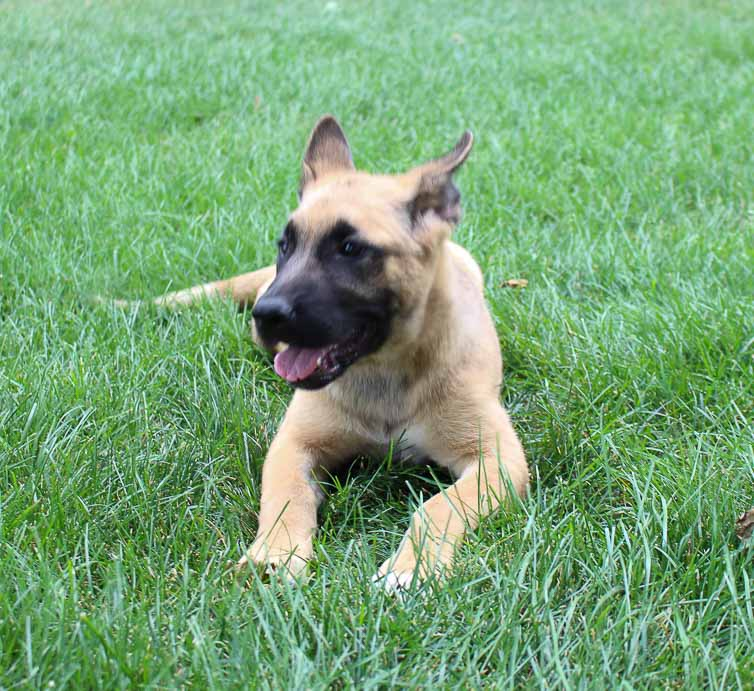 Laney - an Akita & German Shepherd Mix for sale near Fort Wayne, IN