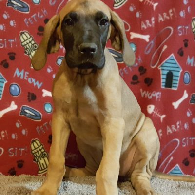 Giant Dogs for Sale - Giant Dog Breeds for Sale | VIP Puppies