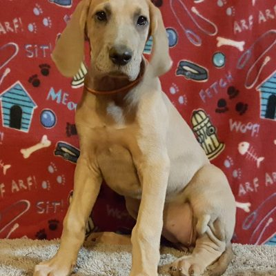 Jane: Female AKC Great Dane puppy [Chippewa Falls, Wisconsin] for sale