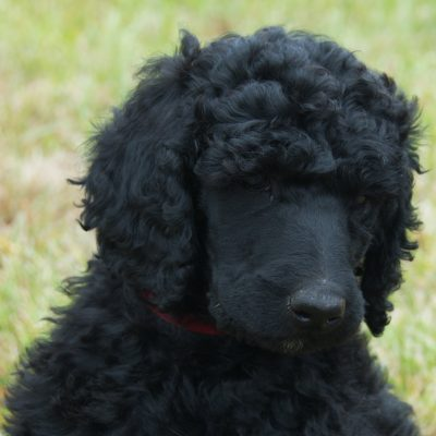 Rosebud – a female Poodle puppy for sale in Clearwater, Michigan