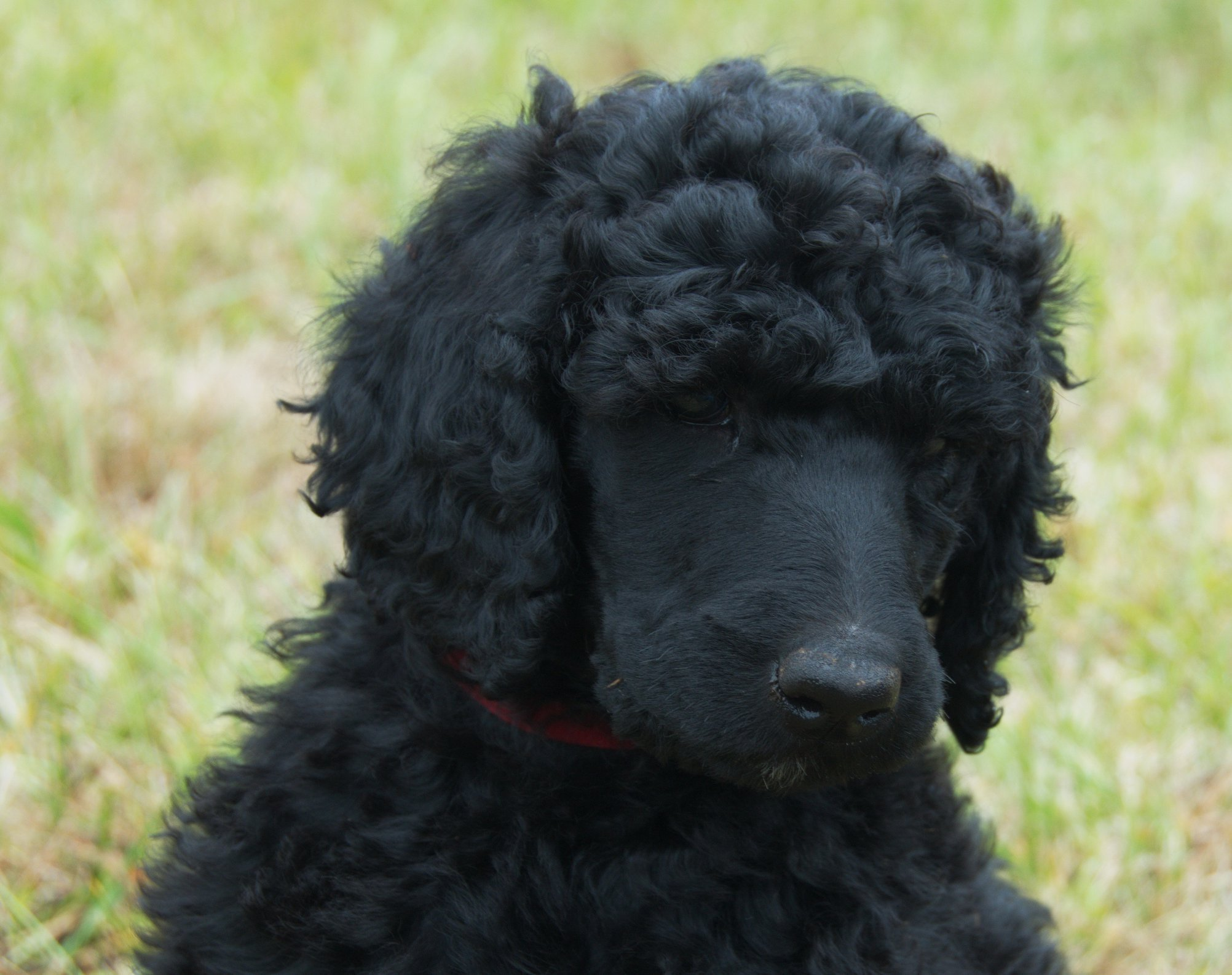 Rosebud – a female Poodle puppy for sale in Clearwater, Florida | VIP  Puppies