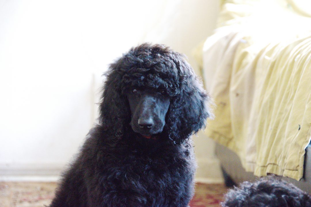 Chloe - AKC Poodle puppy in Clearwater, Florida for sale