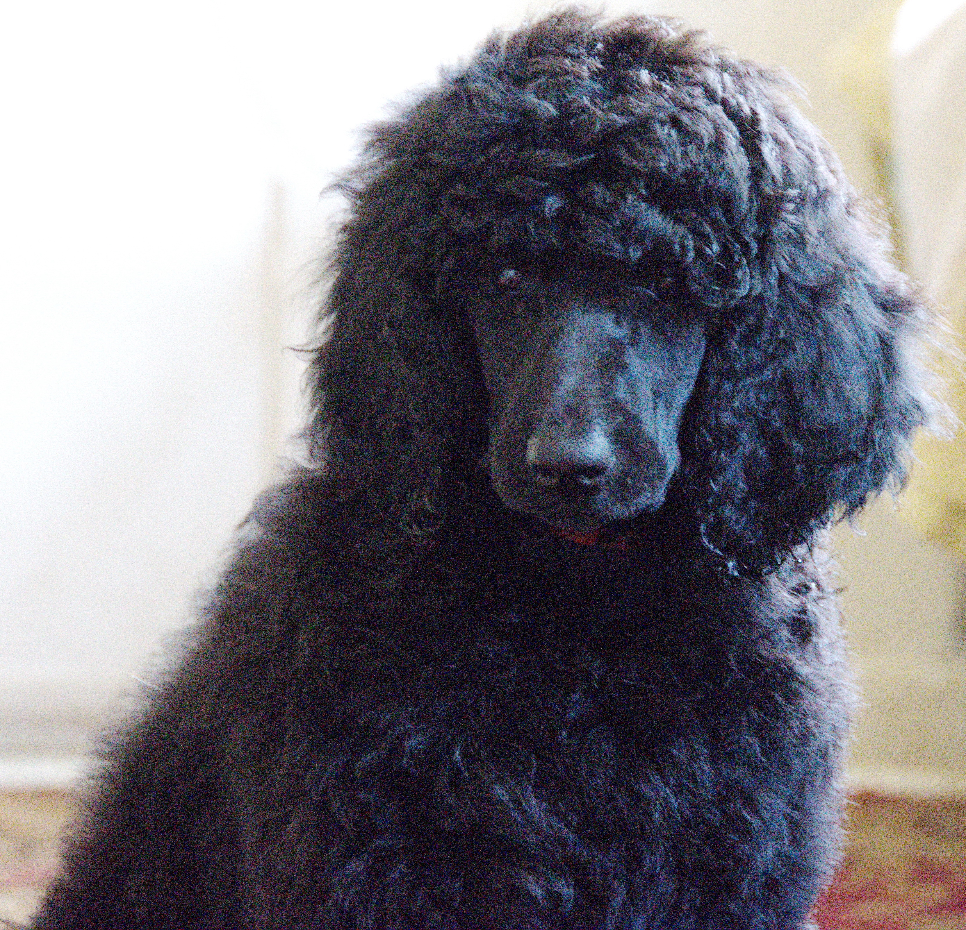 Chloe Akc Poodle Puppy In Clearwater Florida For Sale Vip Puppies