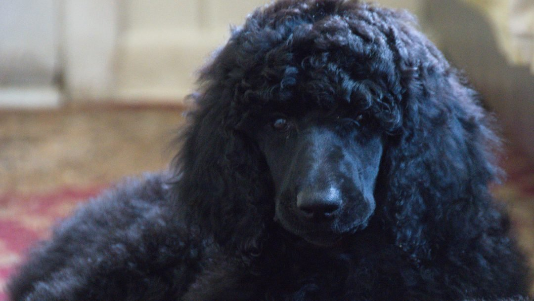 Clara- a female Poodle puppy in Clearwater, Florida for sale