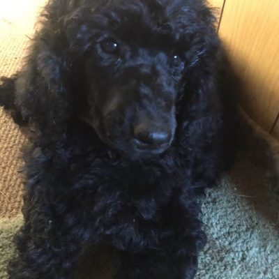 Lilac - a female Poodle puppy in Clearwater, Michigan for sale