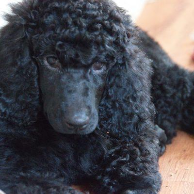 Dog Breeder Near Me [Dog Breeder with Puppies on Sale] | VIP
