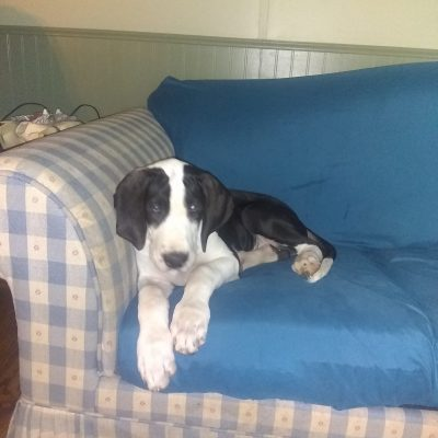 Cuddles - a female Great Dane for sale in Harrisburg, PA
