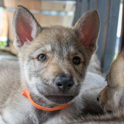 Jamie: UKC Czechoslovakian Wolfdog puppy for sale [Milwaukee, Wisconsin] (Copy)