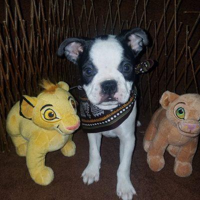 Marley - AKC Male Boston Terrier for sale in Cedar Hill, Texas