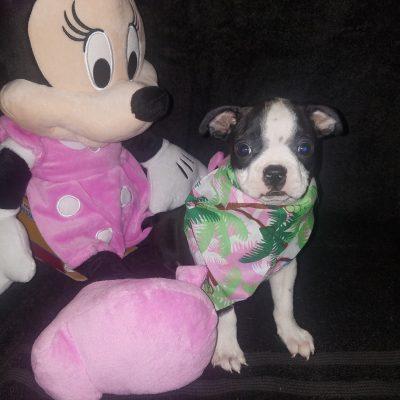 Sassy – a Boston Terrier puppy for sale in Cedar Hill, Texas