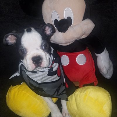 Scooter – Boston Terrier pup for sale in Cedar Hill, Texas