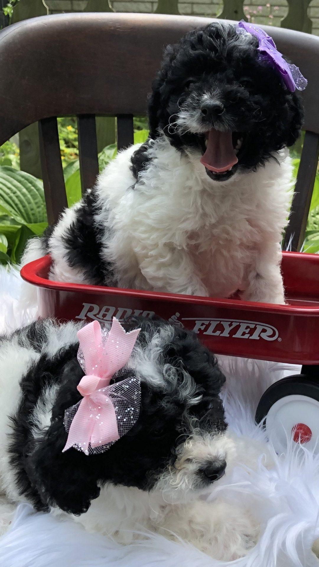 Bella: Female Bernedoodle puppy for sale in Richmond, Michigan