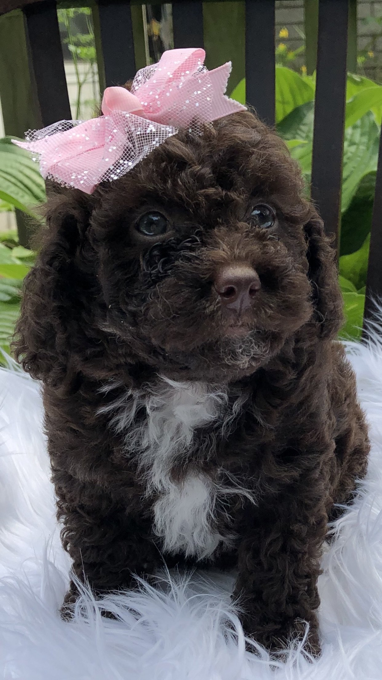 Ginger Female Bernedoodle Puppy In Richmond Michigan Vip Puppies