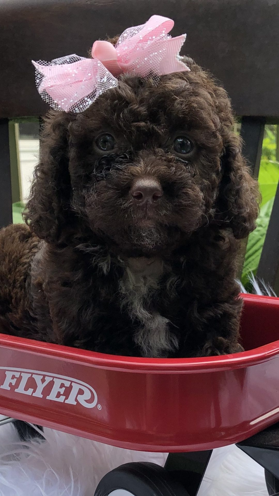Ginger: Female Bernedoodle puppy in Richmond, Michigan