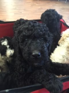 Theodore - a Male Labradoodle puppy in Farmville, Virginia for sale
