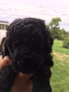 Roosevelt - a Male Labradoodle puppy for sale in Farmville, Virginia