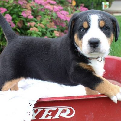 Puppies For Sale Near Me Find Your Perfect Puppy Match