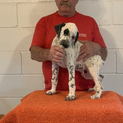 Walking Tall: Male Dalmatian puppy in Colcord, Oklahoma