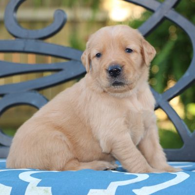 Red - a male Golden Retriever pup for sale in Fulshear, Texas
