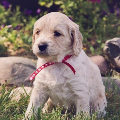 F2bb - Red: Goldendoodle puppy in Flint Township, Michigan