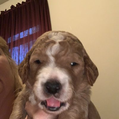 Blue Ranger: Goldendoodle puppy in Flint Township, MI for sale