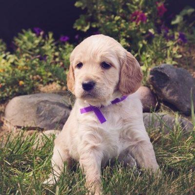 Dog Breeder Near Me [Dog Breeder with Puppies on Sale