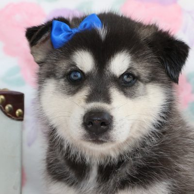 Mandy - a Siberian Husky puppy for sale in Bremen, Indiana