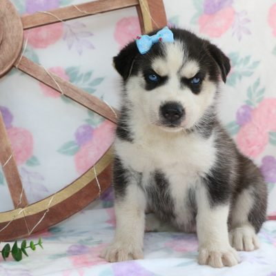 Mystic - a Siberian Husky pup for sale in Bremen, IN