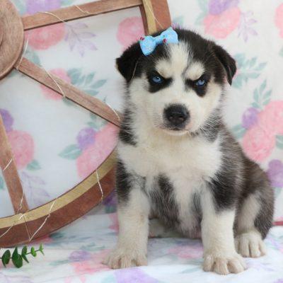Mystic - a Siberian Husky pup for sale in Bremen, IN