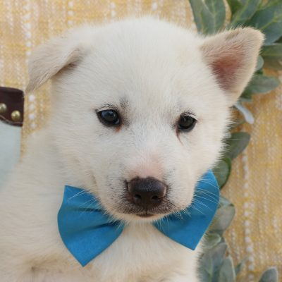 Manny - Siberian Husky puppies for sale in Bremen, Indiana