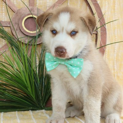 Milo - a Siberian Husky puppy in Bremen, IN for sale