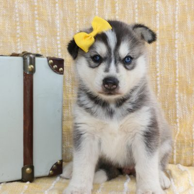 Darcy - a Siberian Husky for sale in Bremen, Indiana