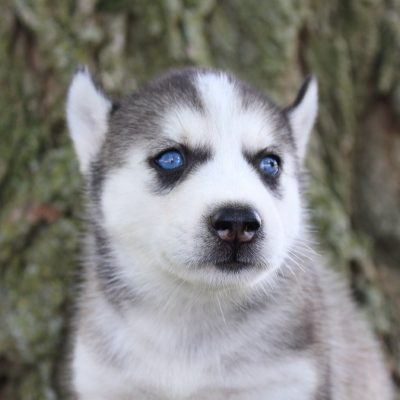 Jayla - female Siberian Husky pup in Grabill, Indiana for sale