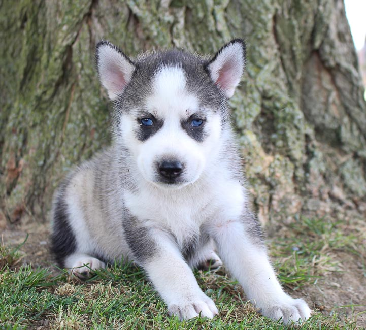 Dog Breeders Near Me - Find The Right Dog Breeder | VIP Puppies