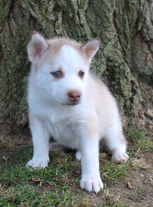 Jacy - Male AKC Siberian Husky puppy in Grabill, Indiana for sale