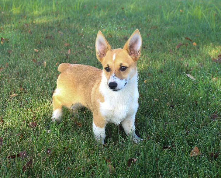 Mariah: DM Free ,Female (Pembroke Welsh Corgi) puppy in Woodburn, IN