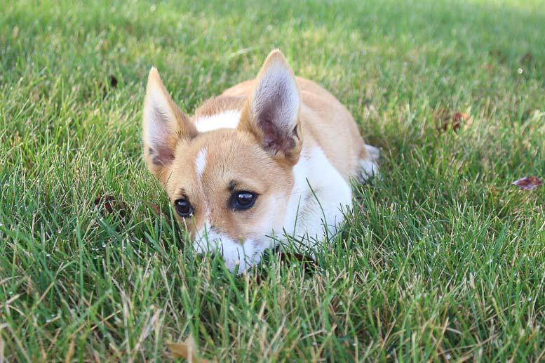 Mariah: DM Free ,Female (Pembroke Welsh Corgi) puppy in Woodburn, IN