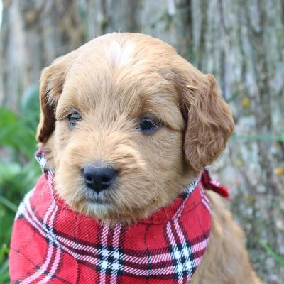 Ginger: Female Goldendoodle puppy (Shipshewanna, Indiana)
