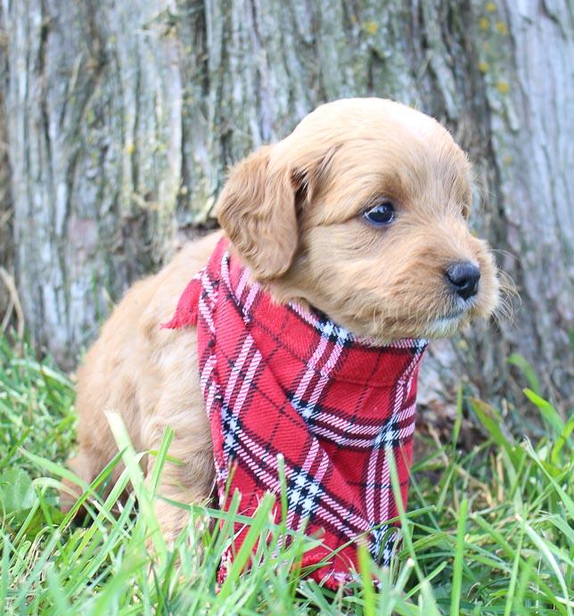 Ginger: Female Goldendoodle puppy (Shipshewanna, Indiana)