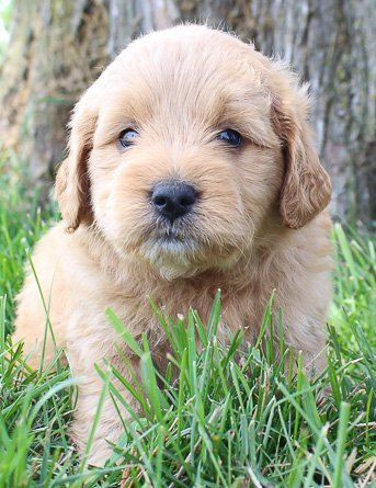 Izzy: Female Goldendoodle puppy for sale (Shipshewanna, Indiana)