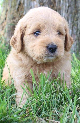 Izzy: Female Goldendoodle puppy for sale (Shipshewanna, Indiana)