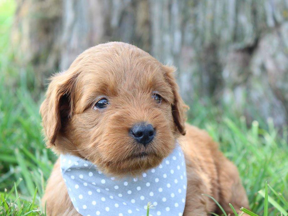 Candace: Female Goldendoodle (Shipshewanna, Indiana) puppy for sale