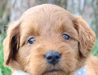 Candace: Female Goldendoodle (Shipshewanna, Indiana) puppy for sale