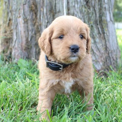 Allie: Female Goldendoodle pupper for sale (Shipshewanna, Indiana)
