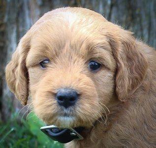 Allie: Female Goldendoodle pupper for sale (Shipshewanna, Indiana)