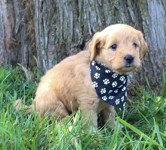 Harriet: Female Goldendoodle puppy in Shipshewanna, Indiana