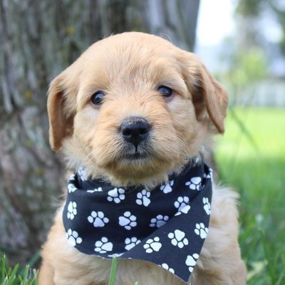 Harriet: Female Goldendoodle puppy in Shipshewanna, Indiana