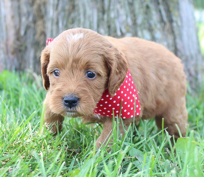 Daisy: Female Goldendoodle puppy for sale in Shipshewanna, Indiana