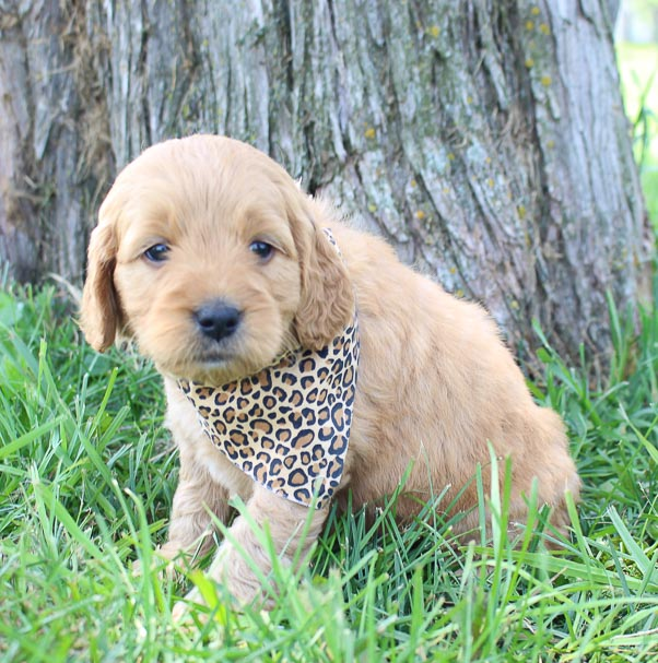 Brooke: Girl Goldendoodle for sale (Shipshewanna, Indiana)